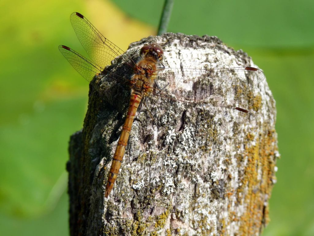 Common Darter dragonfly (female)_0