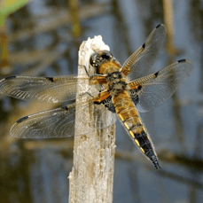 Four Spotted Chaser Dragonfly at the loch_0