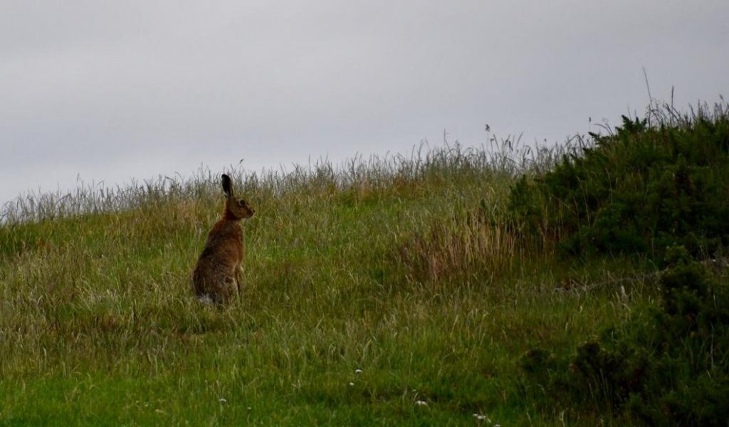 Hare July 2020_0