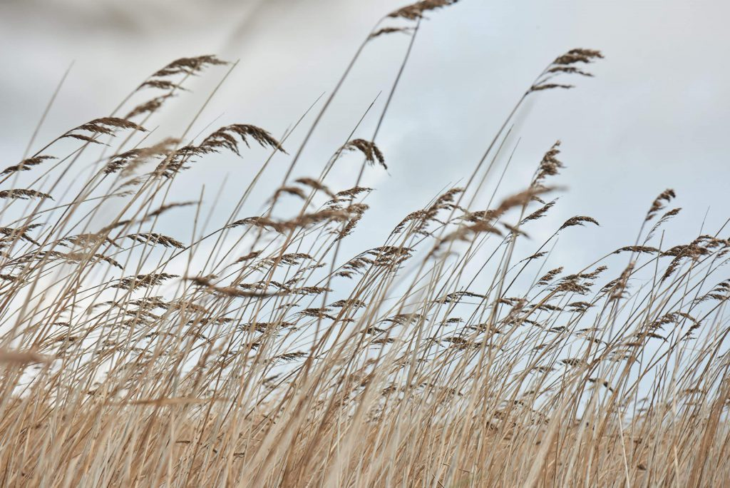 Reeds in the reedbed_0