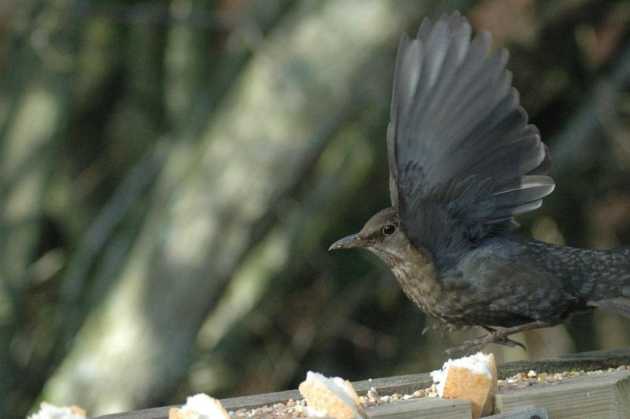 blackbird-female