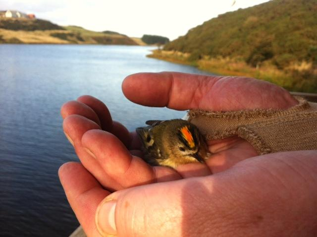 goldcrest-in-hand