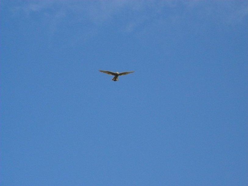 kestrel-bob-grant-photo-from-loch